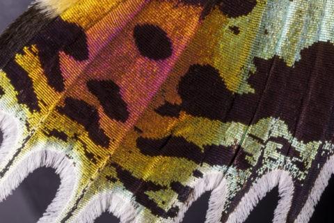 蛾の翅 ニシキオオツバメガ
