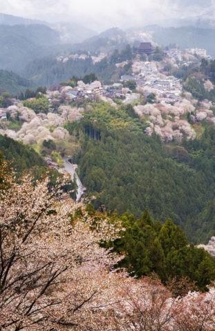 奥千本から 吉野山の桜