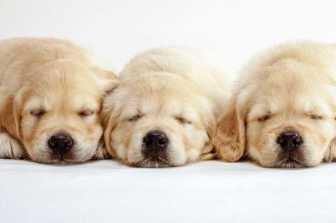 三匹のゴールデンレトリバーの子犬