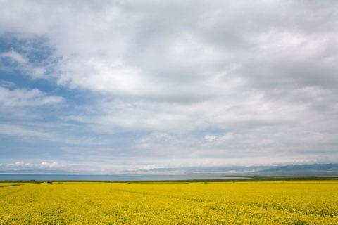 青海湖とナノハナ