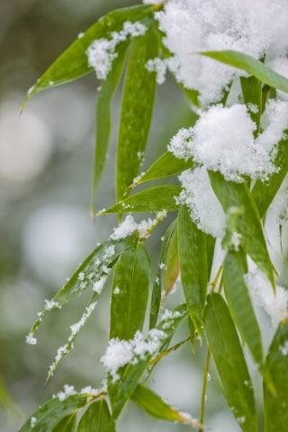 雪と竹の葉