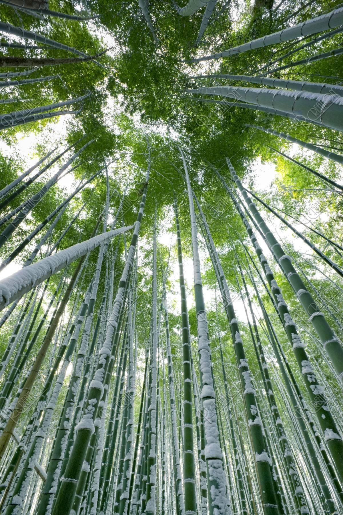雪の竹林 嵯峨野