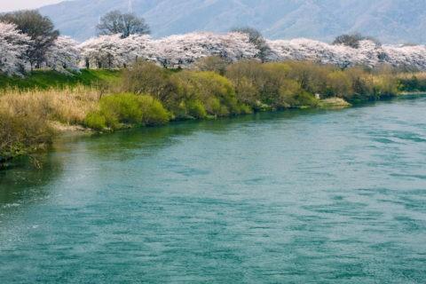 背割堤の桜並木と宇治川