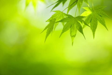 新緑のモミジのアップ