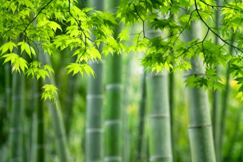 新緑のモミジと嵯峨野竹林