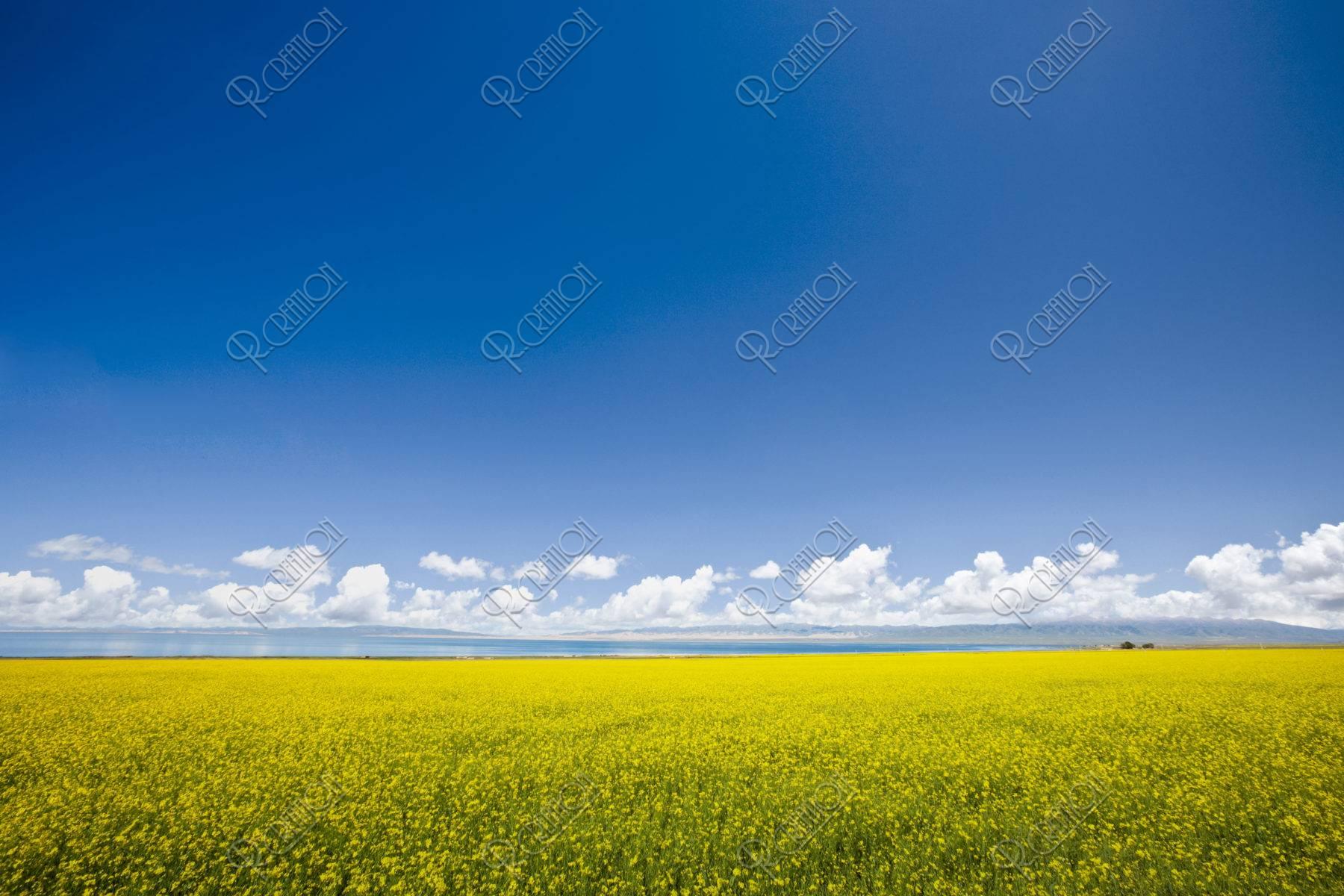 青海湖と菜の花畑