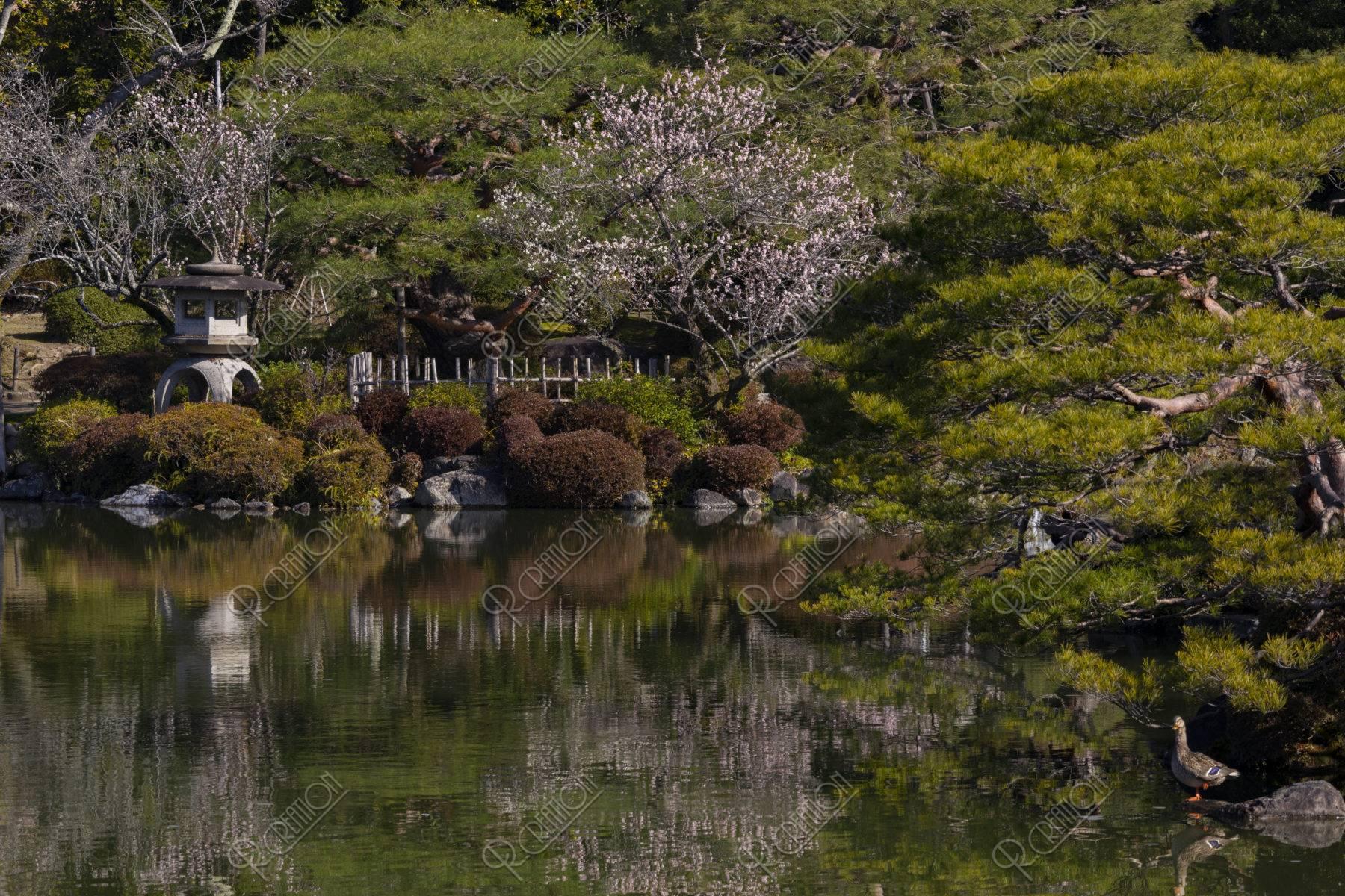 平安神宮 栖鳳池と梅