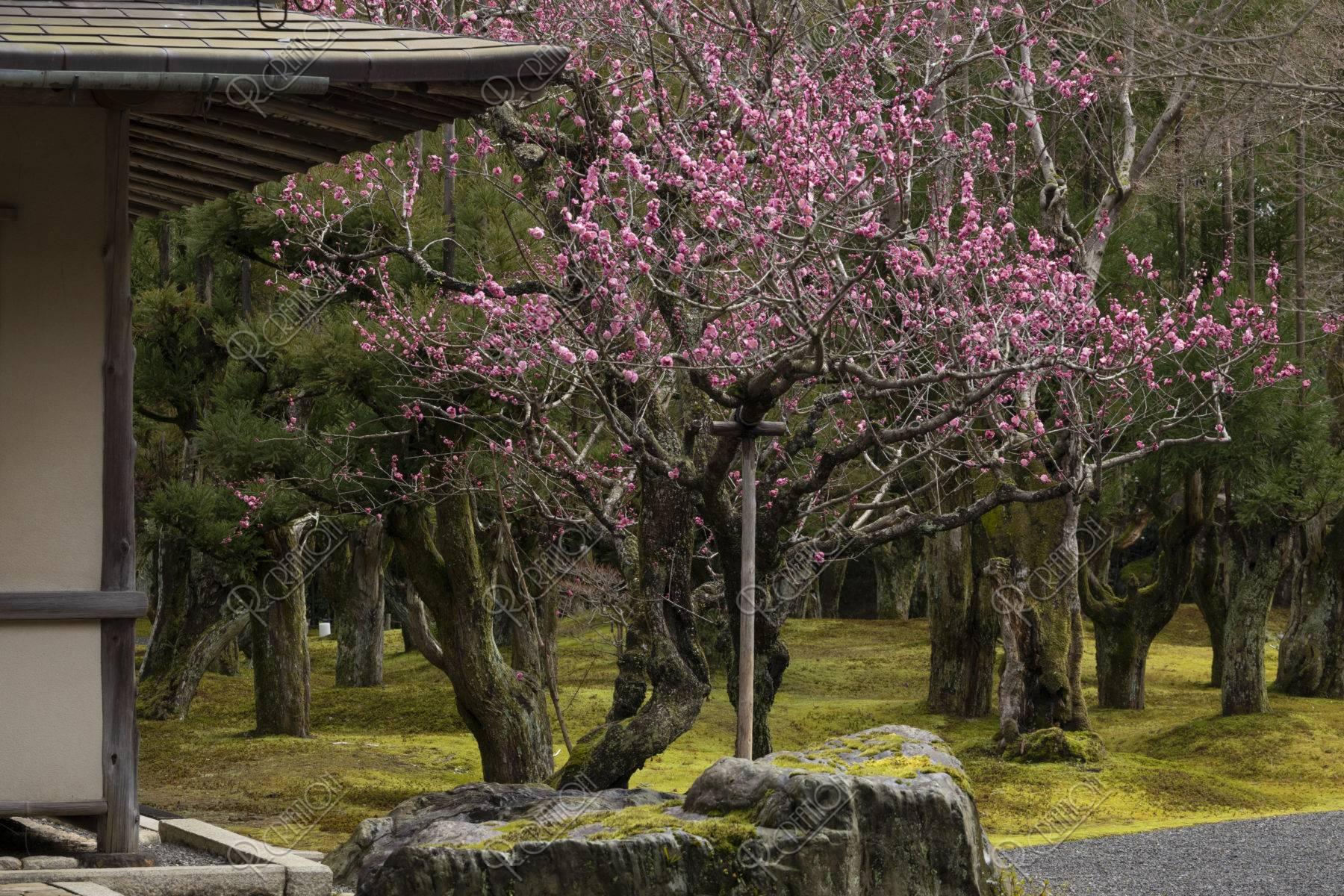 しょうざんの庭 紅梅と北山台杉