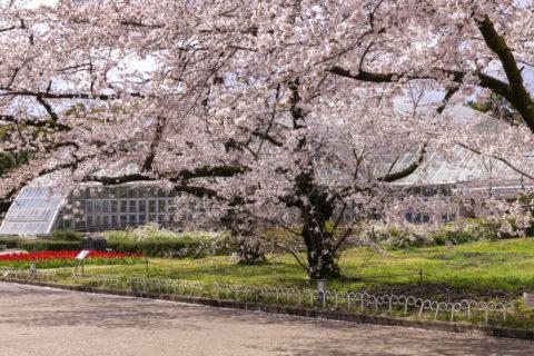 京都府立植物園 観覧温室と桜