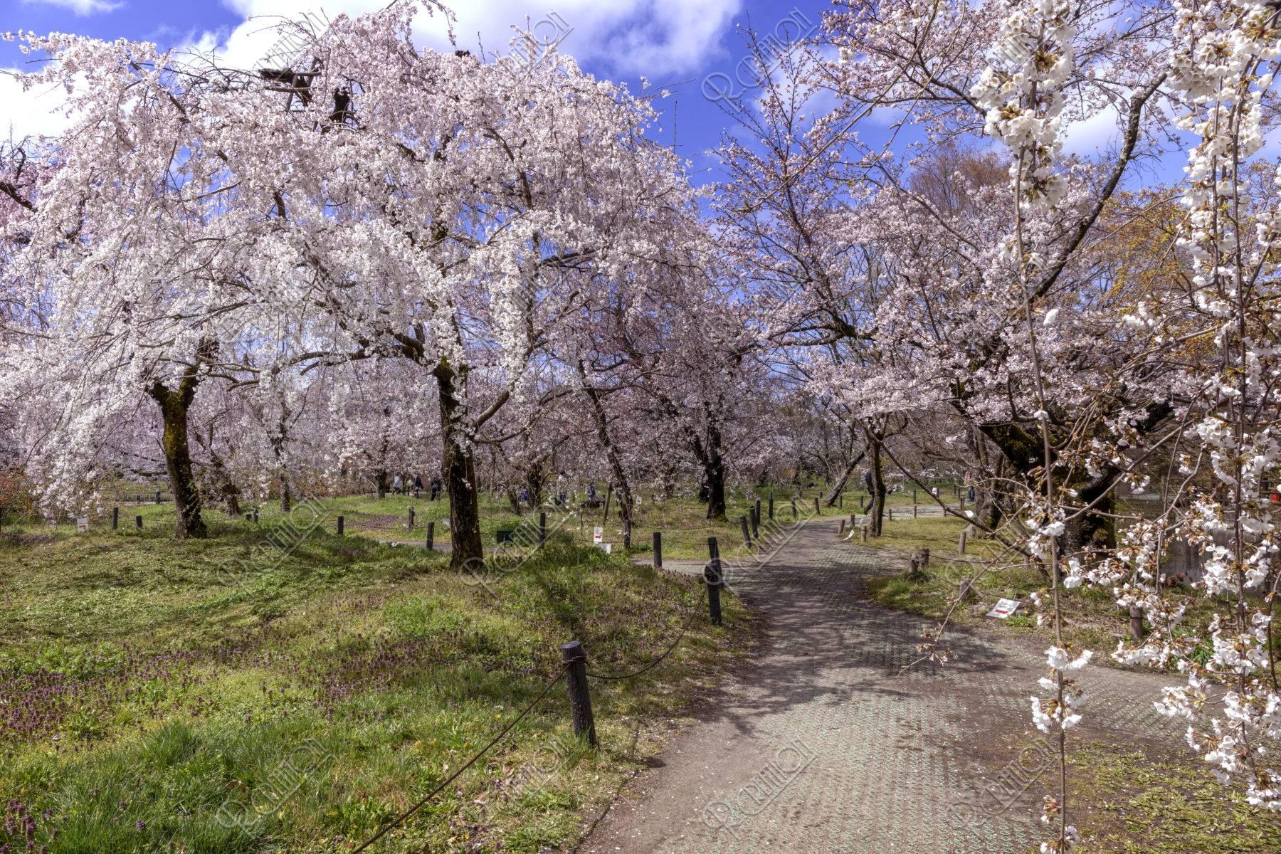 京都府立植物園 桜林