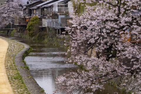 木屋町高瀬川の桜