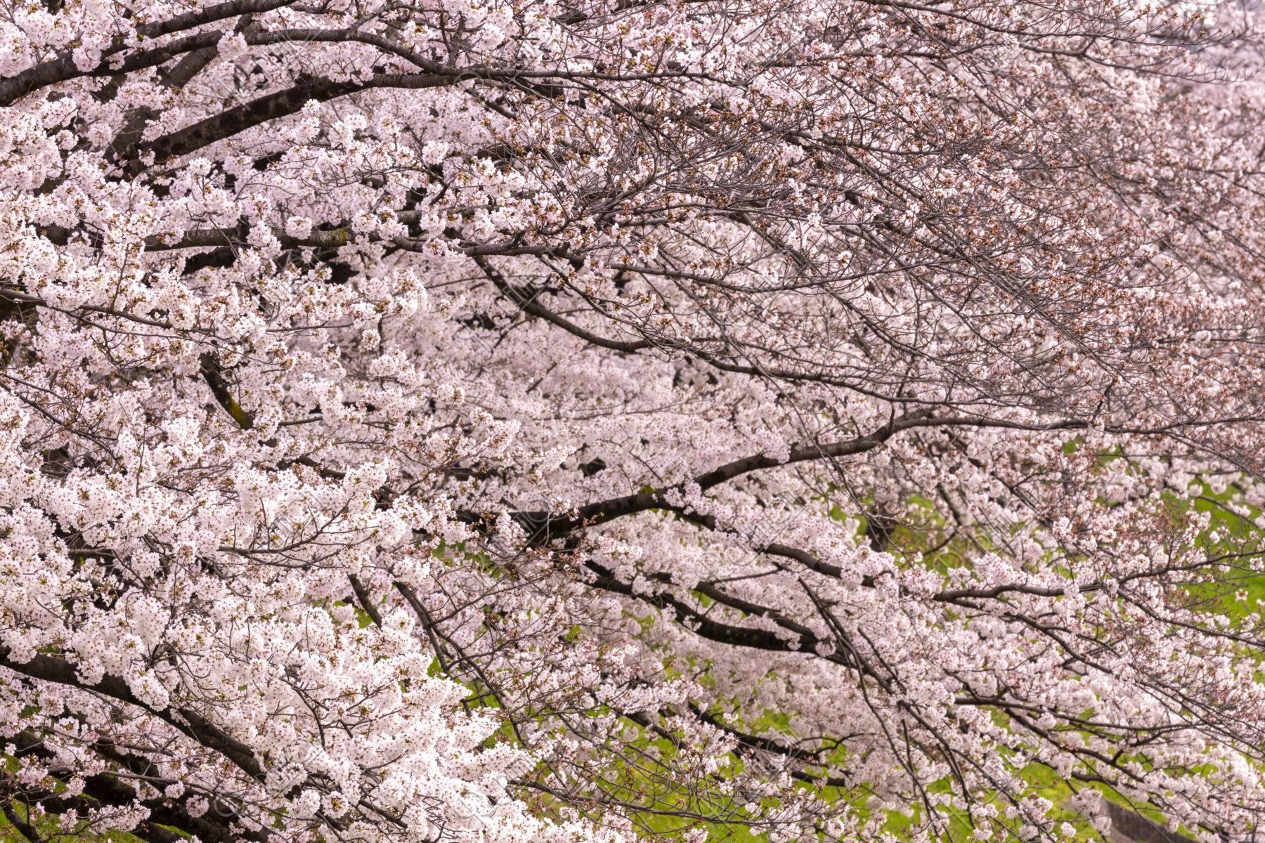 高野川沿いの桜並木