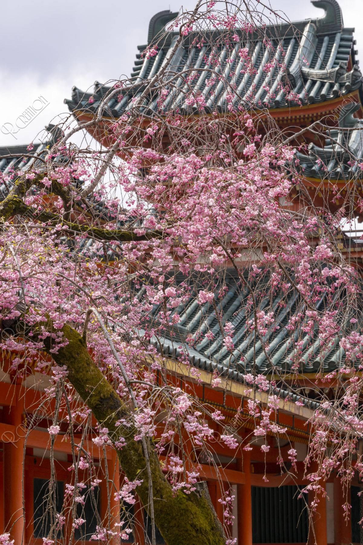 平安神宮 八重紅枝垂れと白虎楼