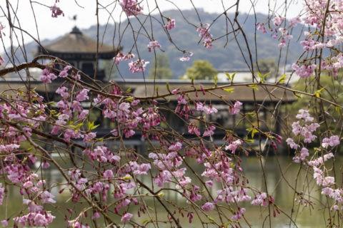 平安神宮 橋殿と八重紅枝垂れ