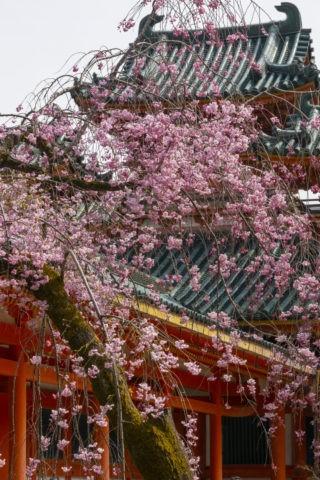 平安神宮 白虎楼と八重紅枝垂れ