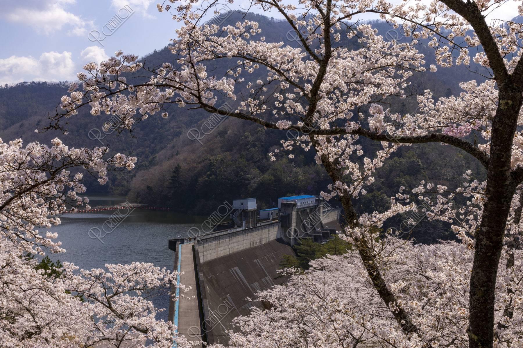 大野ダムと桜