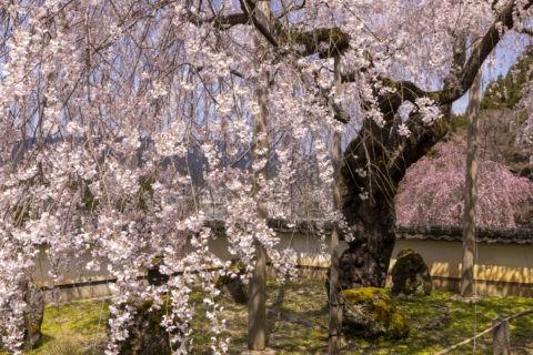 福徳寺としだれ桜
