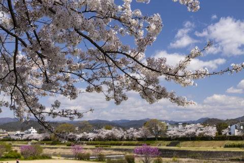 賀茂川の桜並木