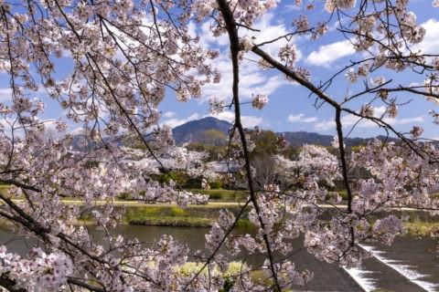 賀茂川の桜並木と比叡山