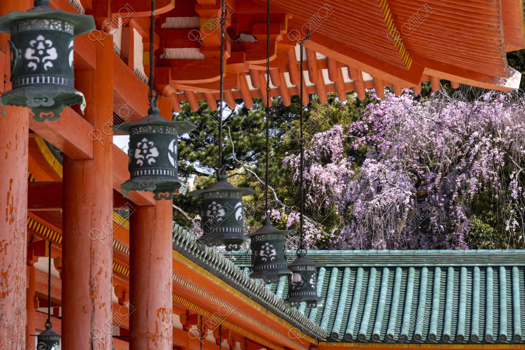平安神宮 回廊と八重紅枝垂れ