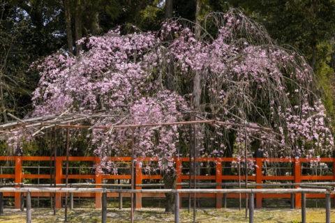 上賀茂神社 風流桜