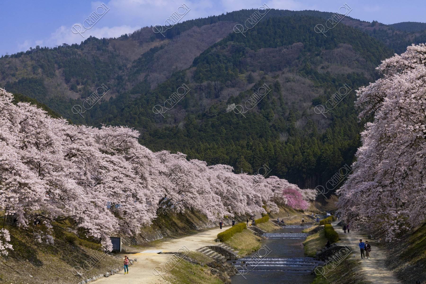 鮎河の桜並木