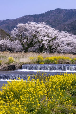 余呉川の桜並木