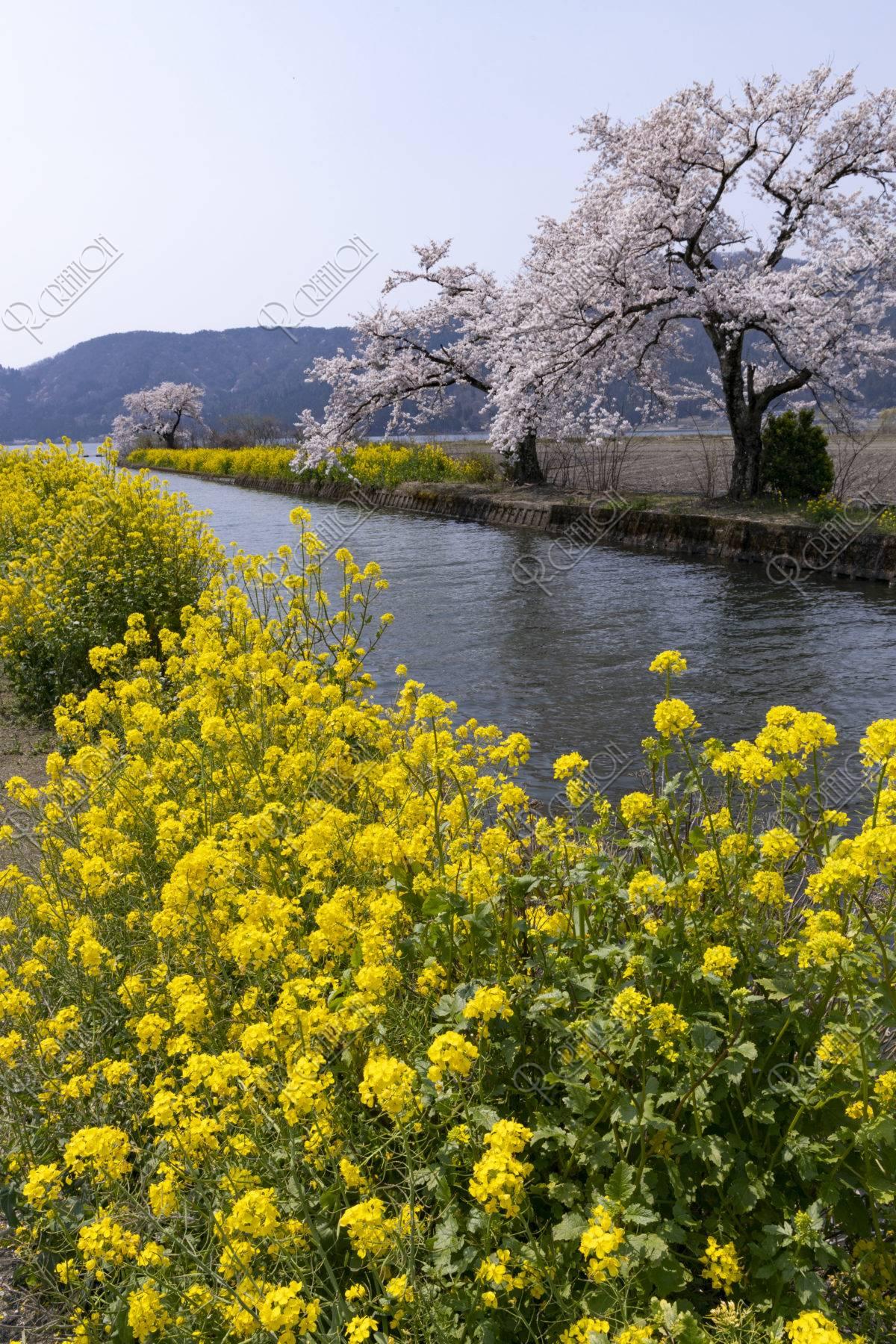 余呉湖の桜