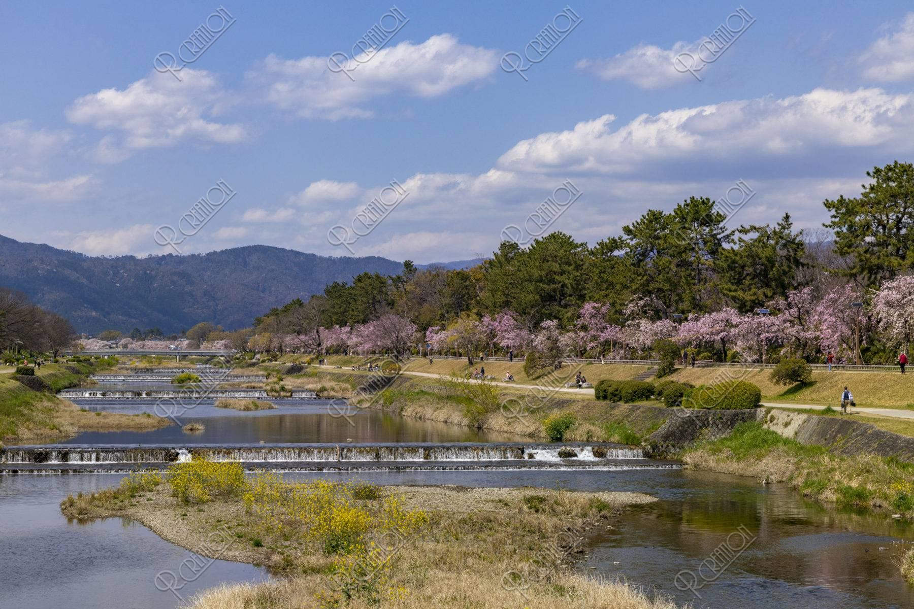 賀茂川 半木の道と桜並木