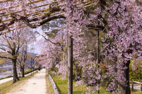半木の道と桜並木