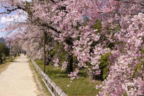 賀茂川 半木の道 桜