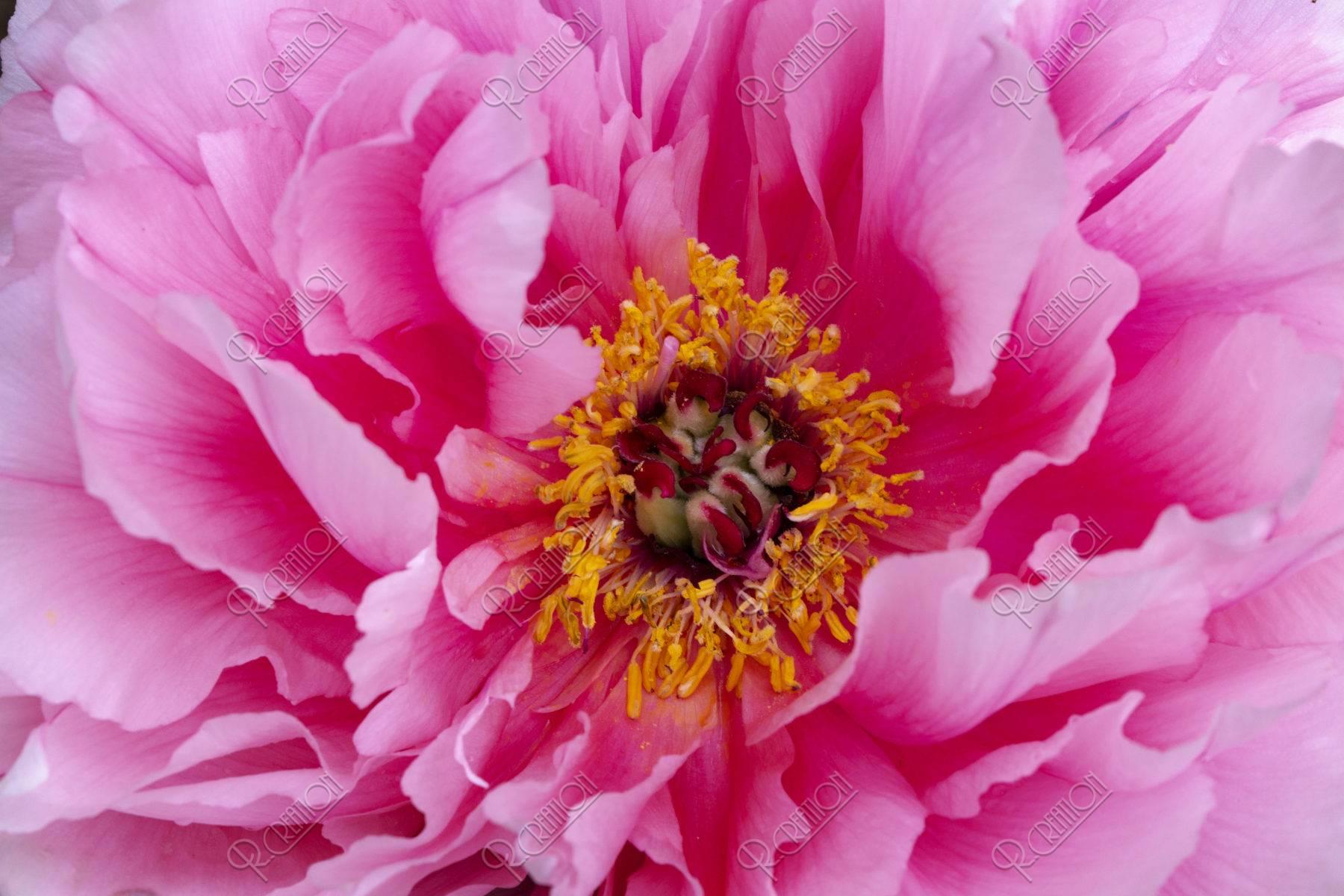 牡丹の花芯