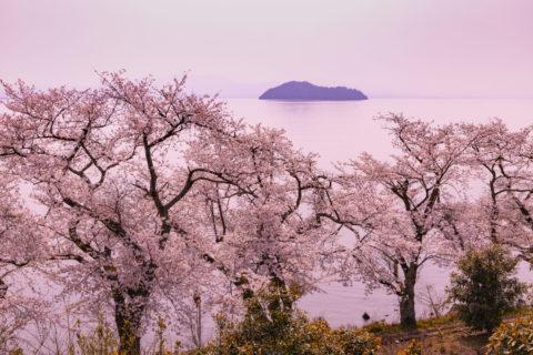 海津大崎の桜