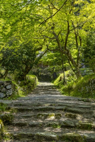 新緑の鶏足寺参道