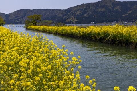 菜の花咲く余呉湖