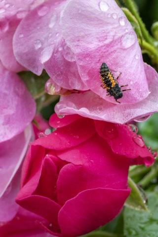 つるバラとテントウムシの幼虫