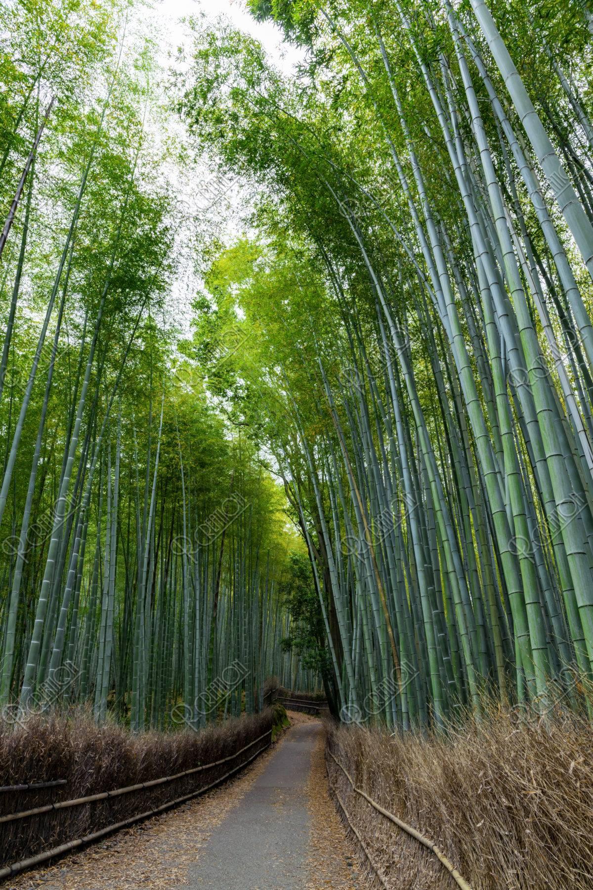 嵯峨野竹林の道