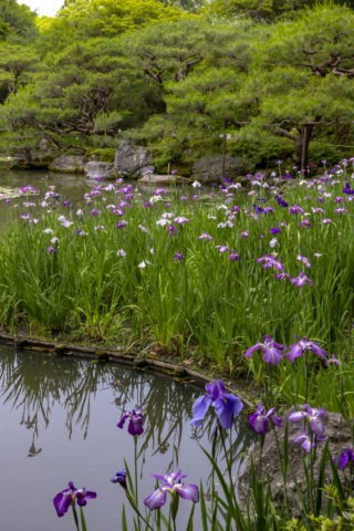 平安神宮神苑の花菖蒲
