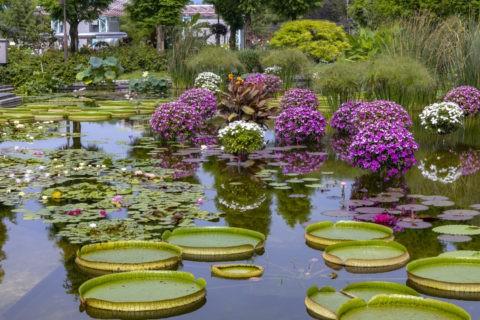 パラグアイオニバス 草津市立水生植物公園