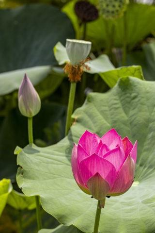 ハス 草津市立水生植物公園