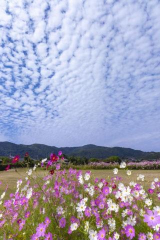 コスモスと鱗雲