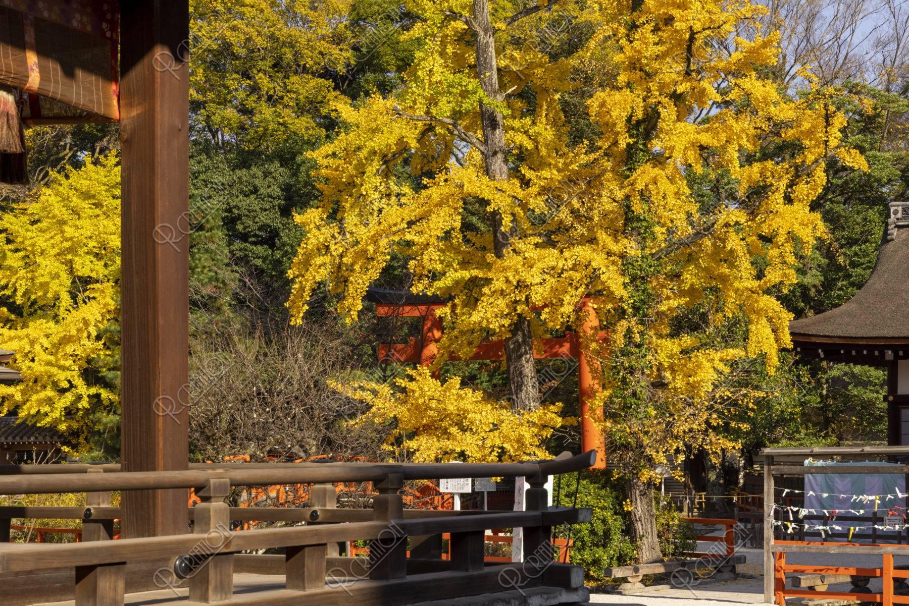 下鴨神社 舞殿と銀杏
