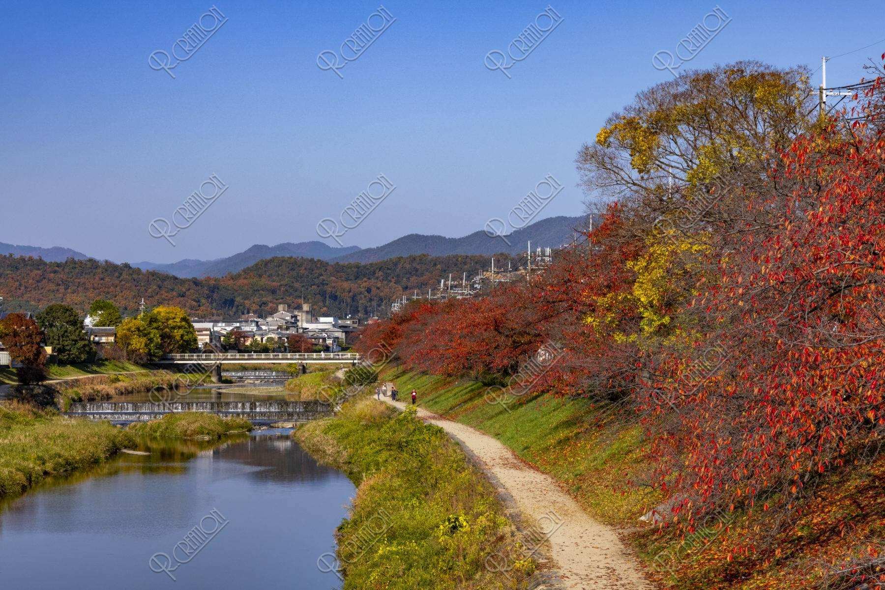 高野川と桜並木の紅葉