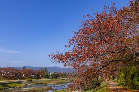 賀茂川と桜並木の紅葉