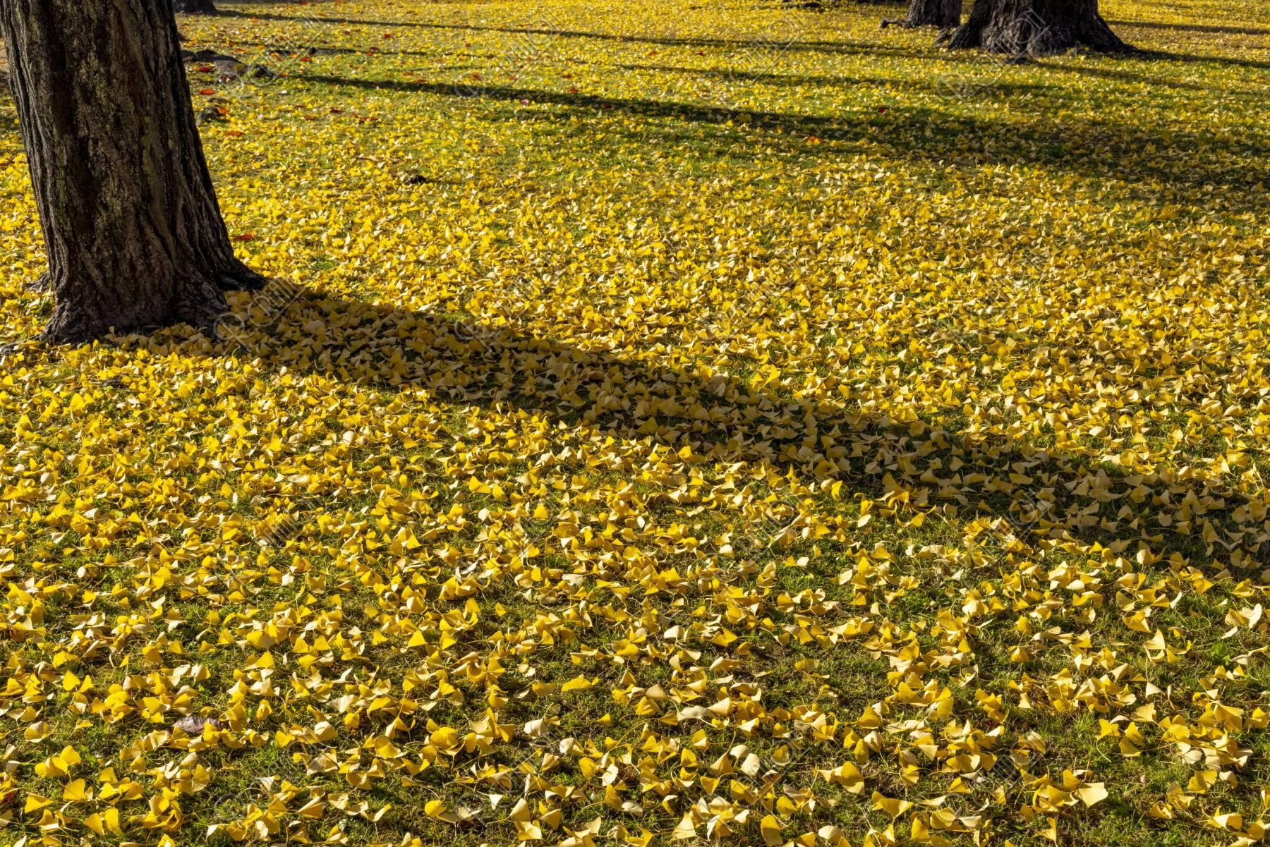 斜光と銀杏の落葉