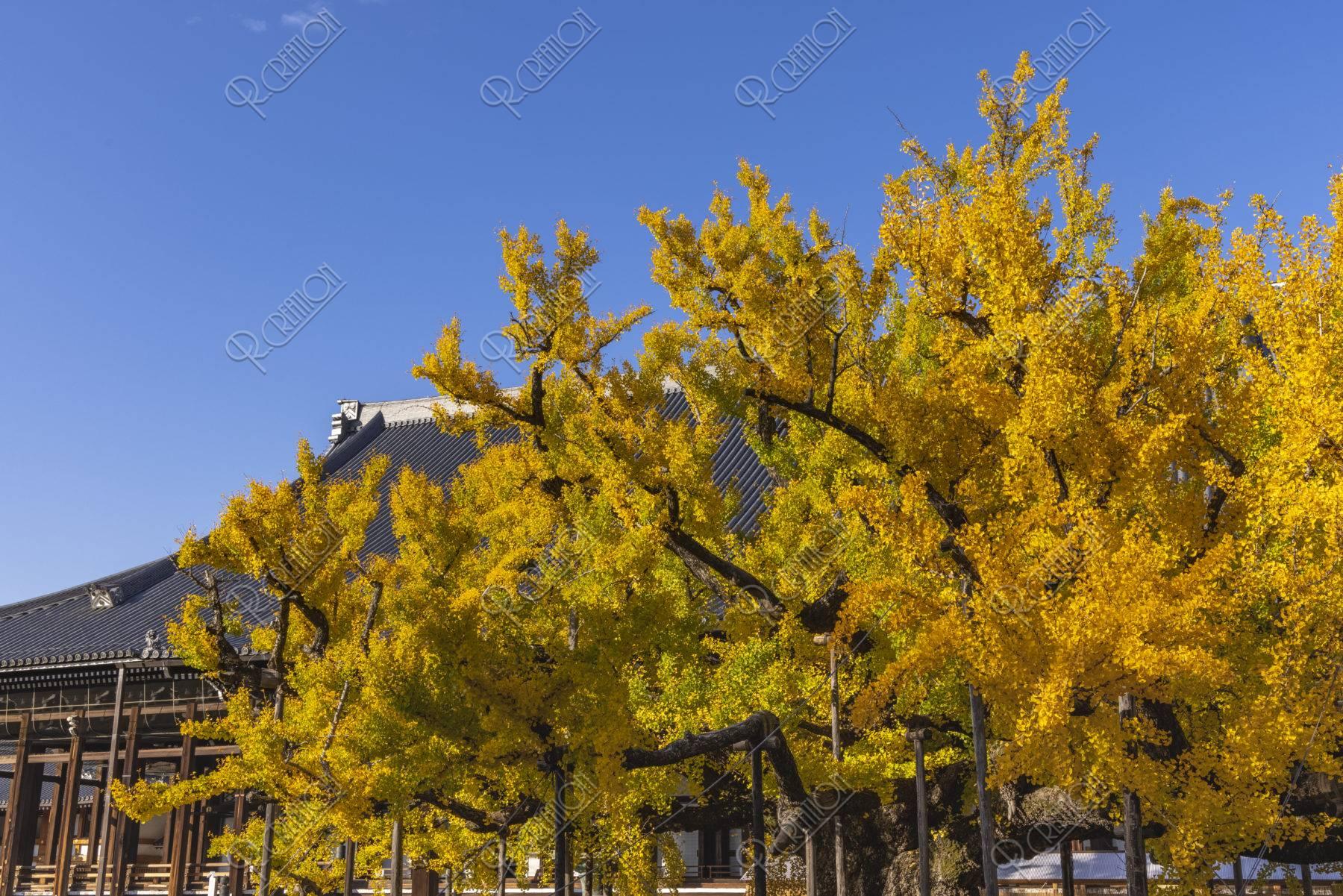 西本願寺御影堂と銀杏