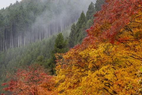 北山杉と紅葉