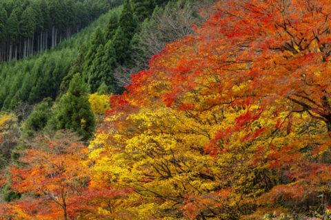 北山杉と色とりどりの紅葉