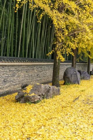 土塀と銀杏の落葉