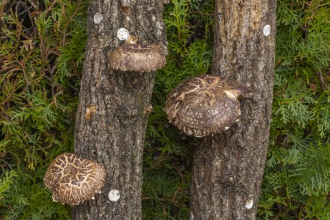 榾木とシイタケ